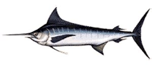 Atlantic Blue Marlin