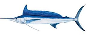 Atlantic Spearfish